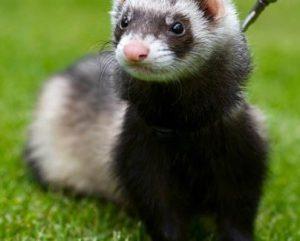 Természetesen a természet ellen: patkányirtás vadászgörénnyel