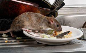Patkányirtás éttermek és közintézmények területén