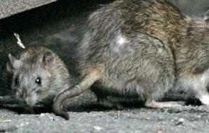 Patkányirtás görénnyel: a természet cirkusza