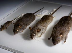 Hatékony patkányirtás őszi feladatai, a biztonságos télért